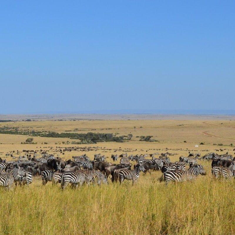 Masai Mara Wildebeest Migration Safari